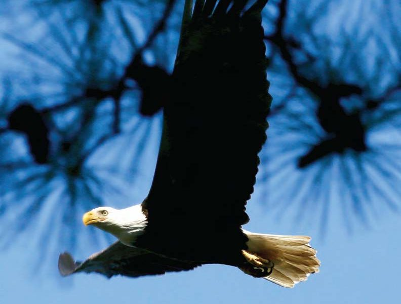 Bald Eagle Spotted Over Gwynn's Island